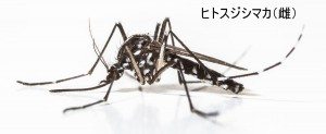 ヒトスジシマカ