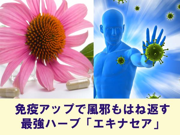 免疫アップで風邪もはね返す最強ハーブ「エキナセア」
